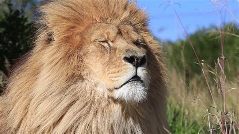 African lion (Panthera leo) portrait in wind (some camera