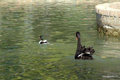 cisne negro con víctima o culpable