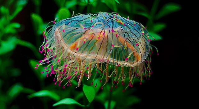 Flower Hat Jelly Olindias Formosa_1 Explore Guppiecat
