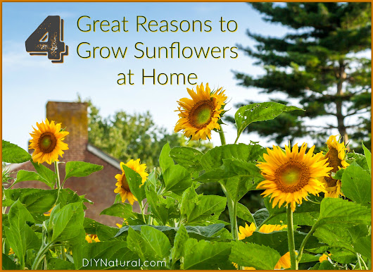 Grow Sunflower: Four Great Reasons for Growing Sunflowers!