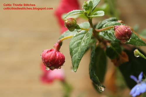Fuschia buds in rain