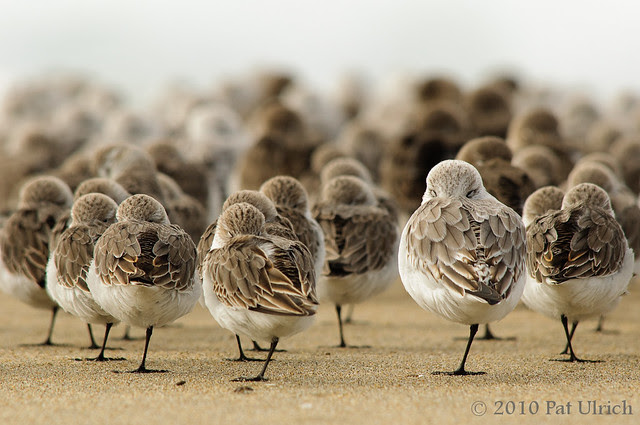 Resting sandpipers -- Pat Ulrich Wildlife and Nature Photography