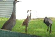 Crane Family C
