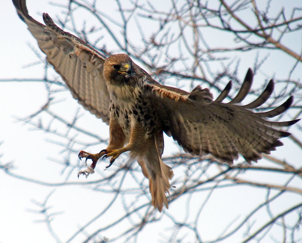 Male red tail in Tompkins Square