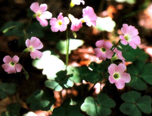 violet wood sorrel