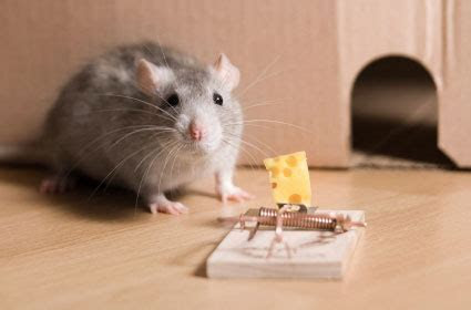 How to Get Rid of Field Mice