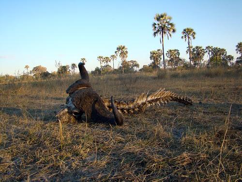 DSC07441 African Buffalo skeleton