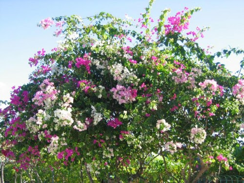 BOUGAINVILLEES.JPG