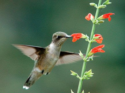 Five Hummingbird Favorites - Walpole Outdoors
