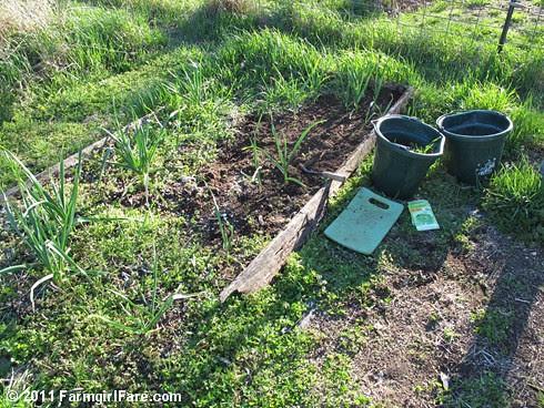 2 Volunteer hardneck garlic bed seeded with Parris Island Cos lettuce on 4-5-11 - FarmgirlFare.com