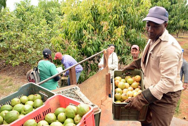 En su apogeo la cosecha de guayaba en Ciego de Ávila