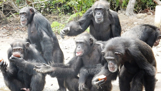 New York Blood Center: Don't abandon chimpanzees for whom you promised to provide lifetime care!