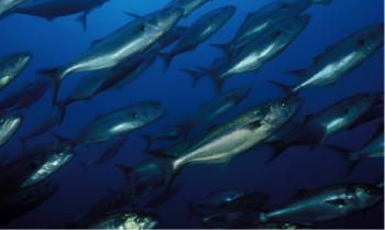Mid-Atlantic Bluefish