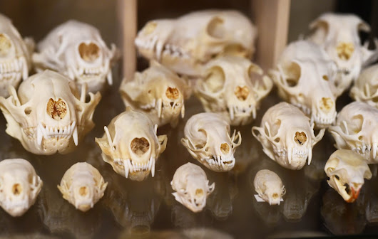 A St. Paul gift shop that sells human teeth, muskrat skulls and coyote claw pendants