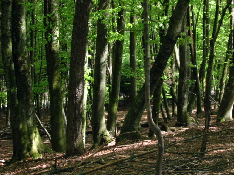 File:A deciduous beech forest in Slovenia.jpg