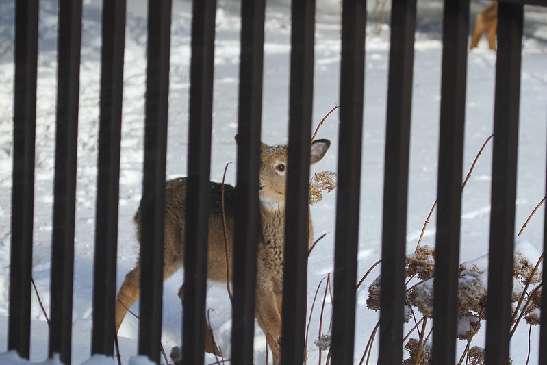 deer fawn peek a boo
