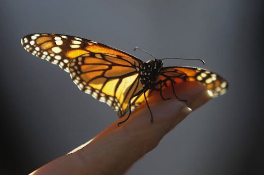 Millions of migrating monarchs: How do they know which way to go?