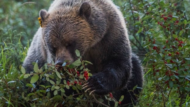 A new University of Alberta study says the abundance of buffalo berries — like the kind this grizzly is eating — in the resource-rich Elk Valley means grizzly bears are increasingly encroaching on local towns and falling victim to human-caused deaths.