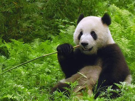 gambar dunia panda latar belakang nah itulah fakta unik