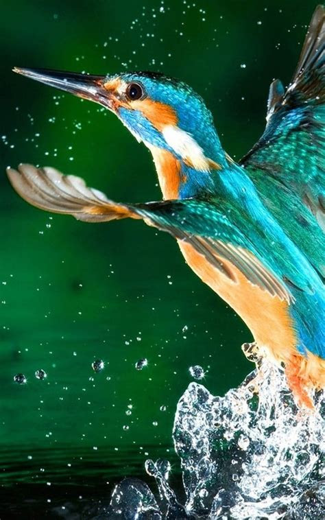 kingfisher bird  pure  ultra hd mobile