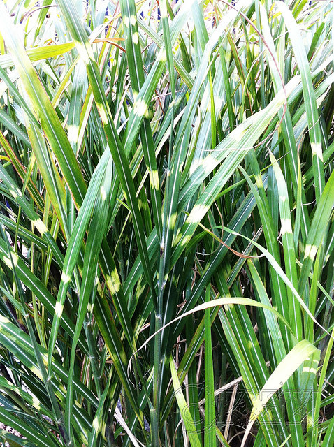 IMG_0343 Zebra grass