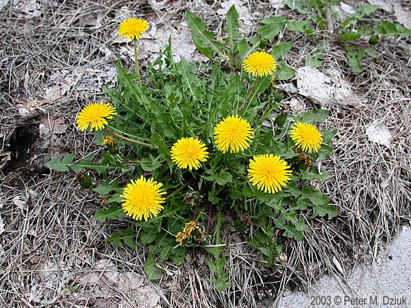 Taraxacum Officinale Common Dandelion Minnesota Wildflowers