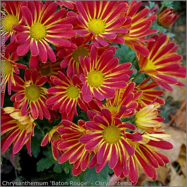 Chrysanthemum 'Baton Rouge' - Chryzantema  'Baton Rouge'