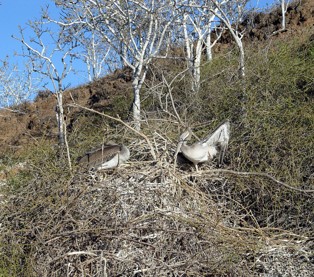 DSC01005 Two Galapagos Brown Pelicans in nest