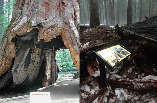 Not the Wawona Tunnel Tree, But the Sequoia Tunnel Tree is no more