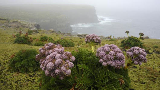 The sub-Antarctic islands are home to strange 'megaherbs'