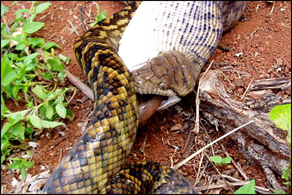 Snake Swallowing Kangaroo 9