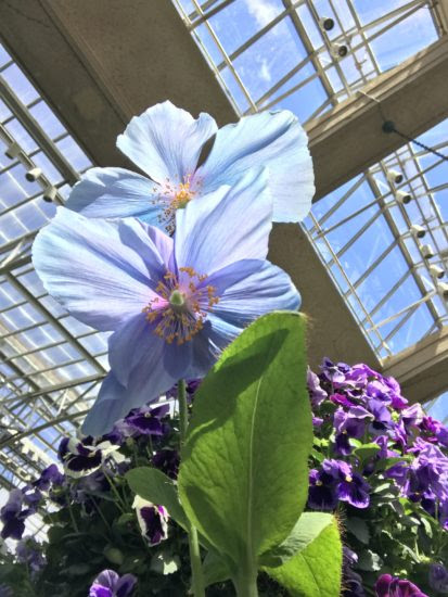 True-Blue Flowers: A Dozen Of The Best And Brightest - Here By Design