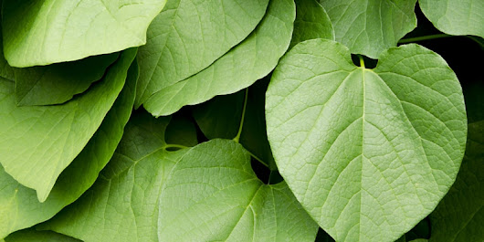 Differences Between Kava vs. Kratom - Which One is Better?