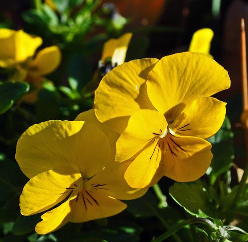 Viola x 'Sorbet Yellow Delight'