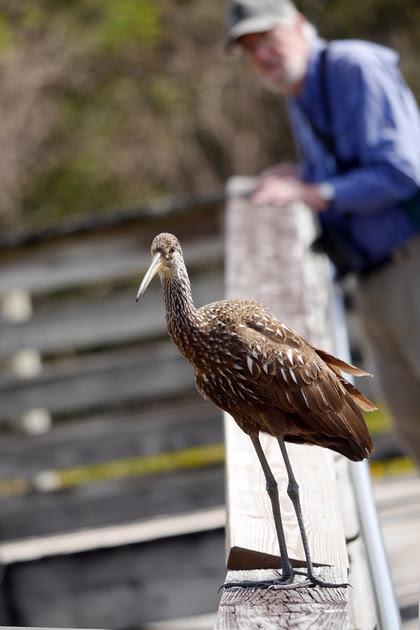 Ed Gaillard: birds &emdash; Limpkin, Green Cay
