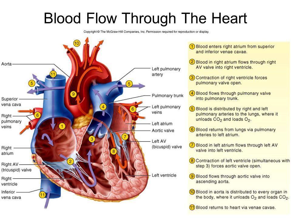 Blood+Flow+Through+The+Heart