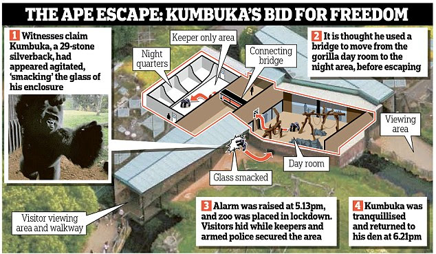 Kumbuka sparked panic on Thursday when he escaped from the gorilla day room