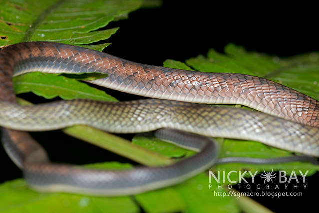 White bellied rat snake (Ptyas fusca) - DSC_2219