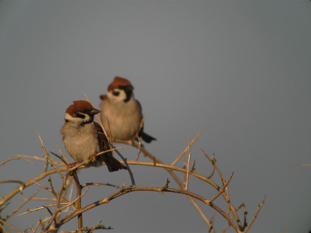Tree Sparrows.JPG