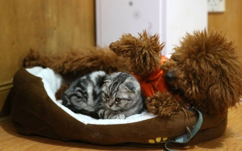 funnywildlife:    funnywildlife:  A 9-month-old poodle acts as a babysitter to a kitten at a pet shop in Hefei, Anhui Province, ChinaPicture: Rex Features