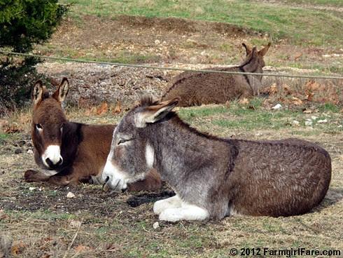 Donkey hangovers 3 - FarmgirlFare.com