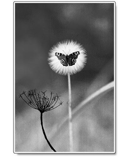 Maskros-och-fjäril