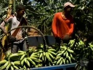 Produção de banana em Santa Maria da Boa Vista (Foto: Reprodução/ TV Grande Rio)