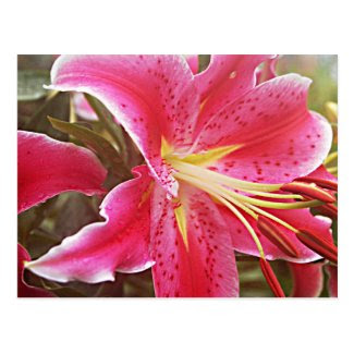 Pink Stargazer Lily Post Card
