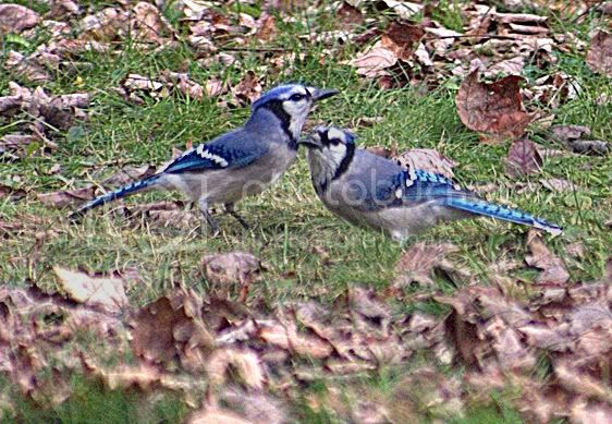 Is It A Bad Idea To Attract Blue Jays