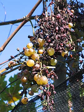 [shriveled grapes]