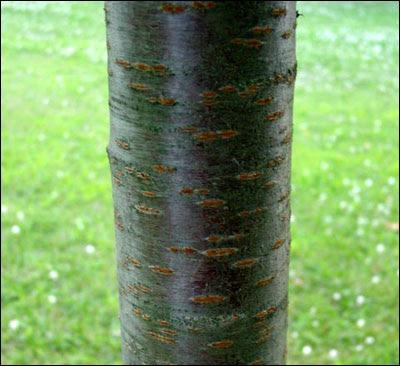 black cherry tree bark. Cherry tree trunk