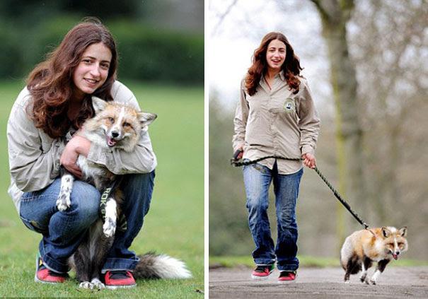 rescued-tame-pet-fox-cub-todd-emma-dsylva-1