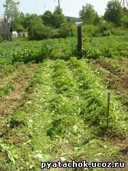 Окученный картофель, междурядья засыпаны кошенной травой