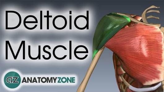 Anatomyzone google deltoid muscle anatomy anatomyzone ccuart Choice Image
